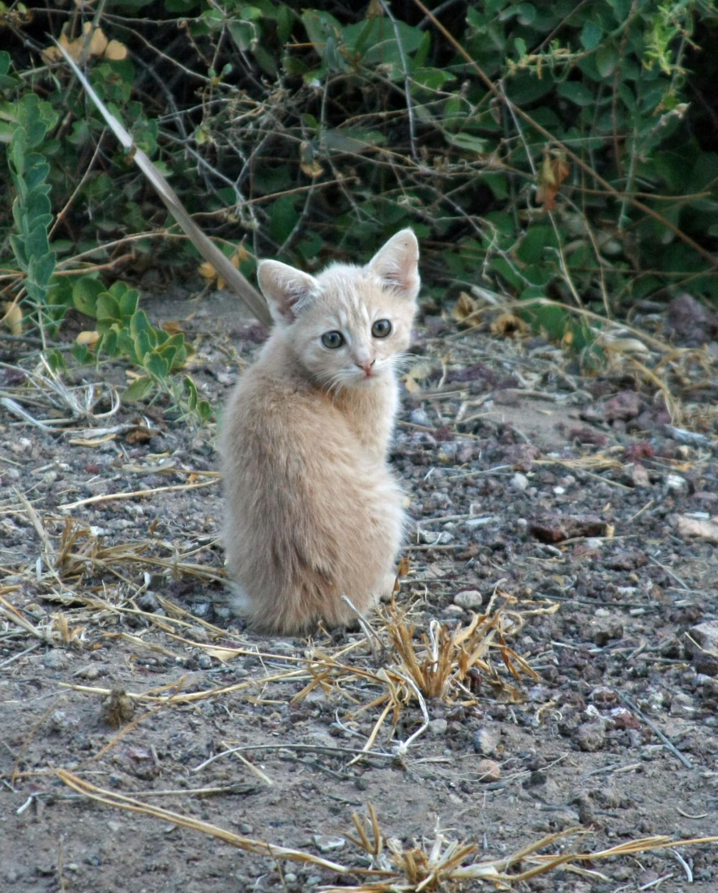 Kenya kittens